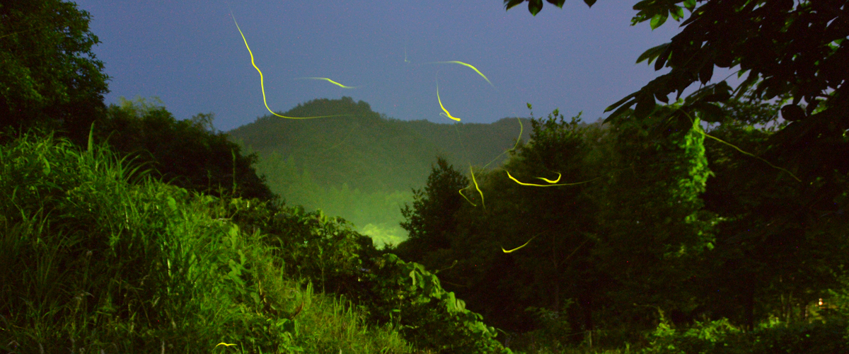 The Beautiful, Mysterious and Magical Fireflies of Aichi