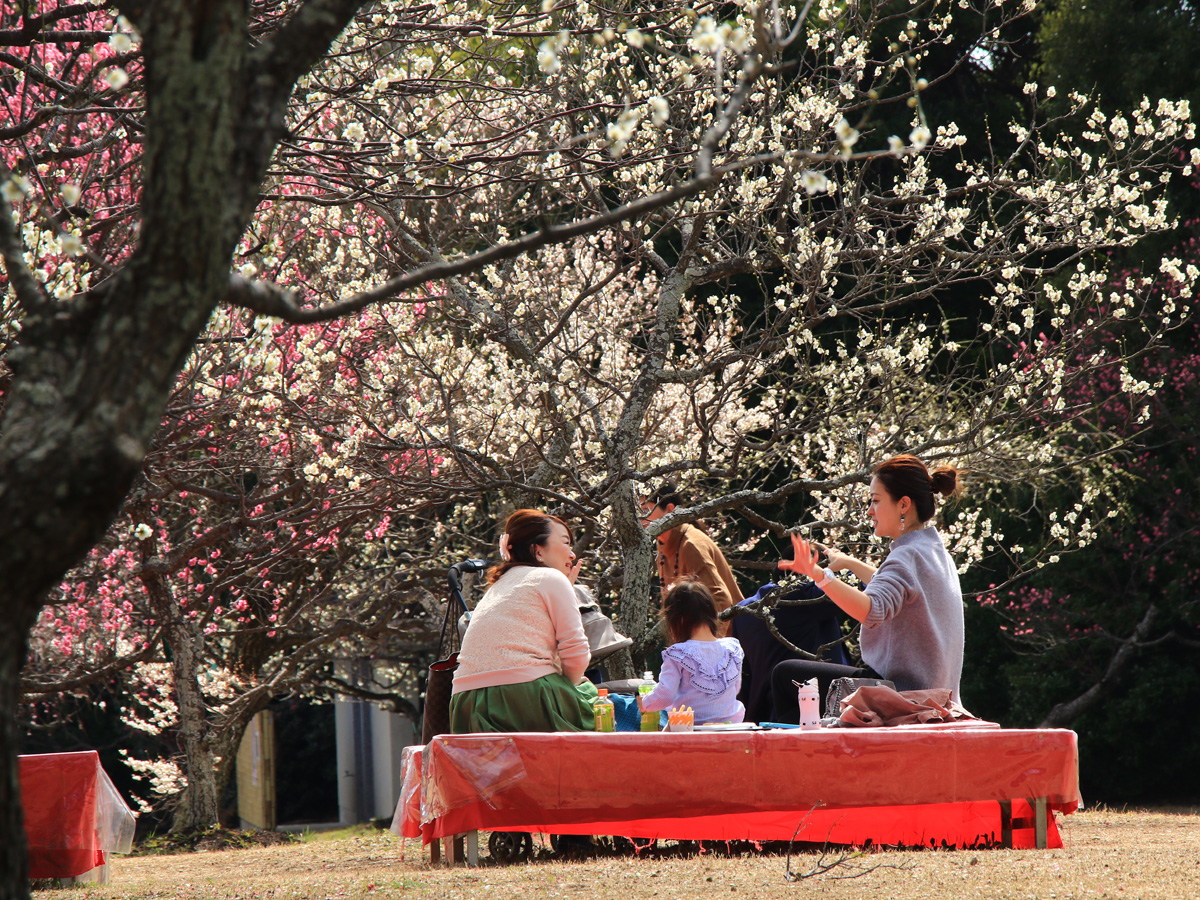 Spring Festival and Plum Blossoms Festival at Mukaiyama Ryokuchi Greens Park