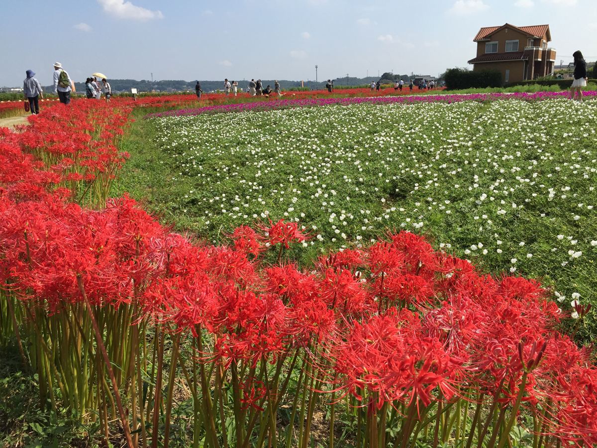 Yakachigawa River and Red Spider Lily Fields (Yakachigawa Higanbana)
