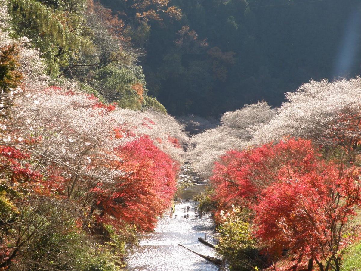 小原四季桜まつり(愛知の紅葉)