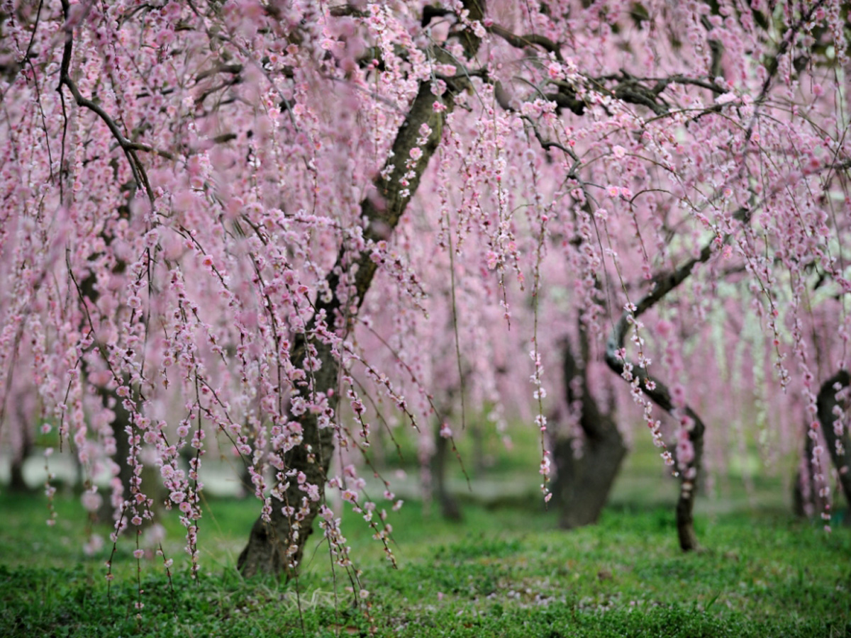 Weeping Plum Blossoms Festival - Nagoya Agricultural Center dela Farm