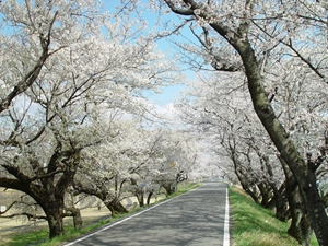 Cherry Blossoms of the Kisogawa River Embankment (Kisogawa Tsutsumi)