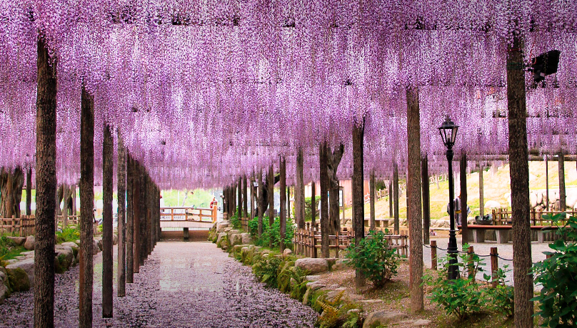 Wisteria in Tsushima-City