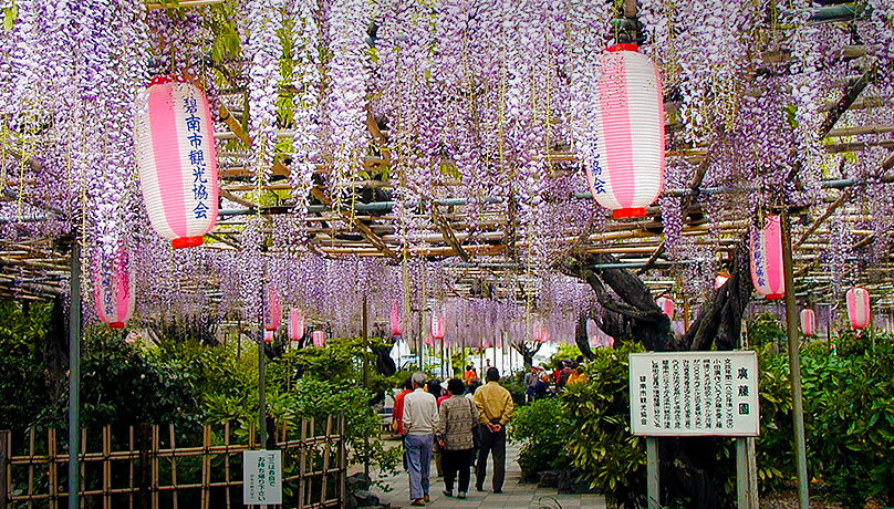 Wisteria Blossoms at Kotoen Garden